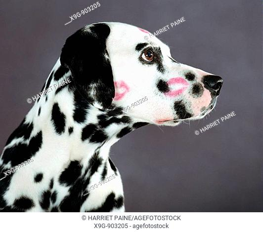 Dalmatian with kiss marks