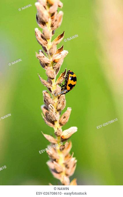 Asian Ladybug or ladybird beetle(Harmonia axyridis)
