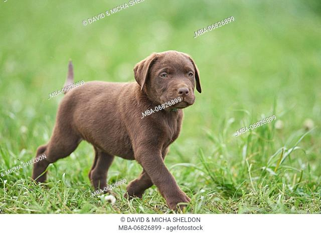 Labrador retrievers, chocolate brown, puppy, meadow, frontal, run