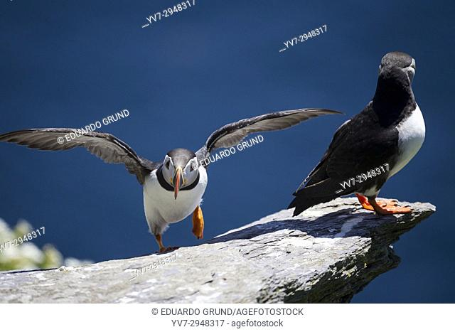 Puffins in Great Skellig or also called Skellig Michael. Skellig Islands, County Kerry, Ireland, Europe