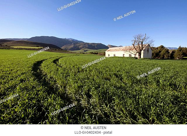 A lone farmhouse in a field of lucerne in the Greyton district, Overberg, Western Cape, South Africa