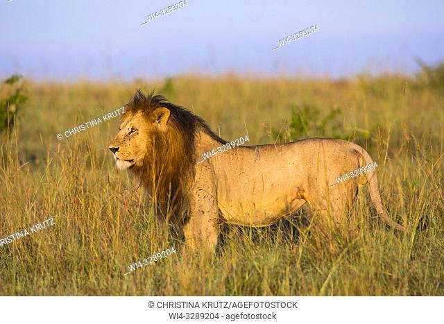 African Lion (Panthera leo), male standing in tall grass, Maasai Mara National Reserve, Kenya, Africa