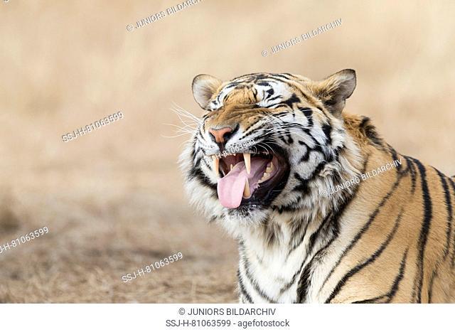 Asian (Bengal) Tiger (Panthera tigris tigris), male flehming with tongue protruding