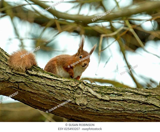 Red Squirrel looking down from tree branch on Brownsea Island, Dorset