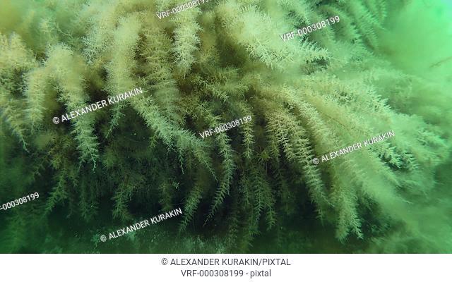 Hydroid thickets (Obelia longissima) look like brown algae