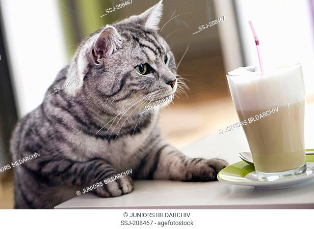 Domestic cat. Tabby adult looking at a glass of Latte Macchiatto. Germany