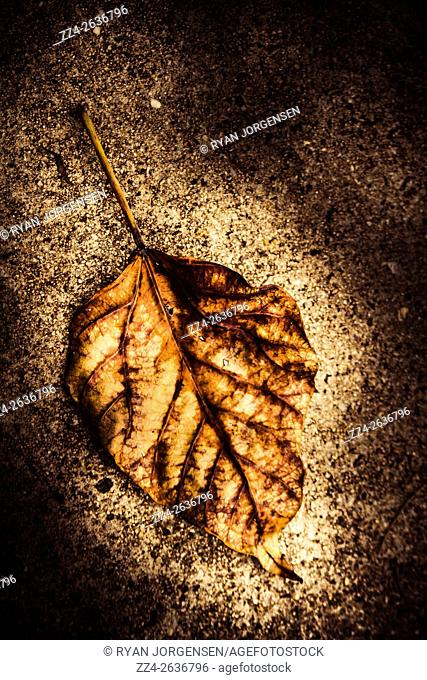 Dark contrasted brown leaf fallen on cement surface, laying in decomposition from autumns passing