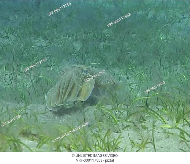 Cuttle WU in sea grass bed