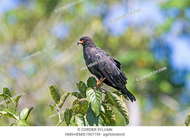 Brazil, Amazonas state, Amazon river basin, Snail Kite (Rostrhamus sociabilis), adult, perched