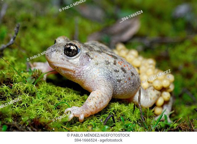 Iberian midwife toad Alytes cisternasii in Valdemanco, Madrid, Spain