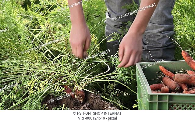 Lockdown, CU, hands harvesting carrots on an organic farm