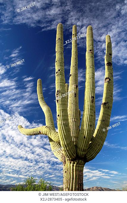 Tucson, Arizona - Saguaro cactus in the Cactus Forest in the Rincon Mountain District of Saguaro National Park
