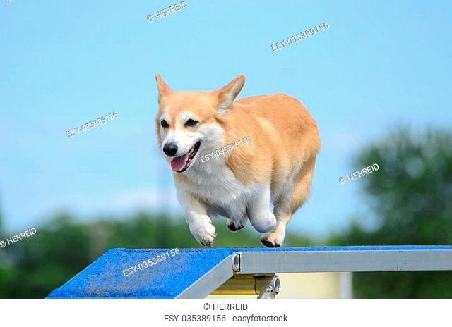 Pembroke Welch Corgi Running on a Dog Walk at an Agility Trial