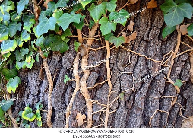 Connection between Ivy and Tree