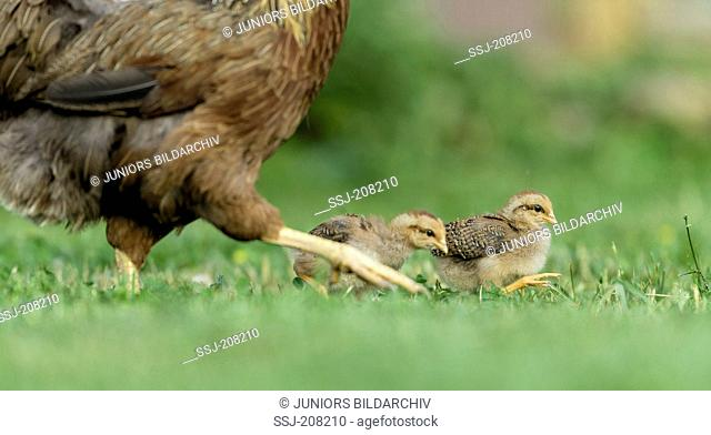 Welsummer. Hen with two chicks walking on grass. Germany