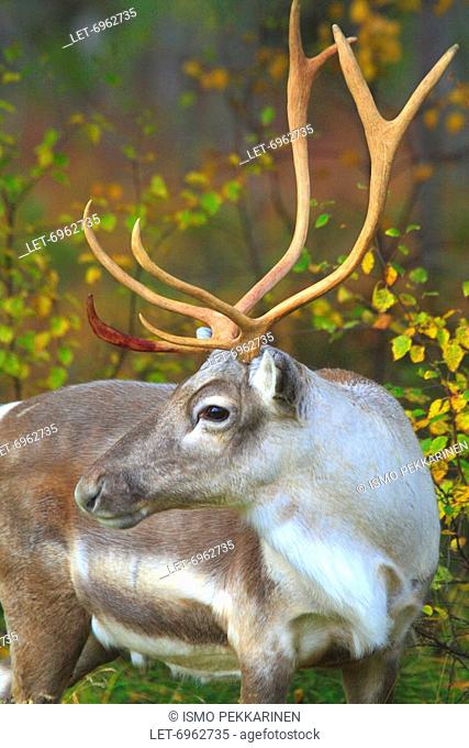 A reindeer in Finnish Lapland when forest glowing with autumn tints