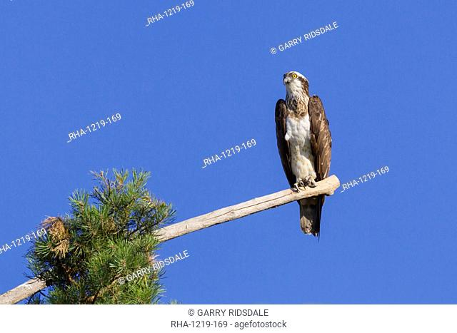 Osprey (Pandion haliaetus) perched at the end of a long branch extending from a pine tree in the Orleans Forest, Loiret, France, Europe