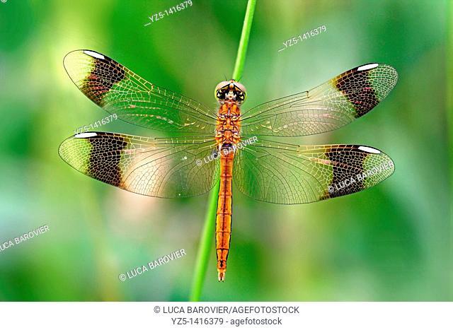 Sympetrum pedemontanum, Banded Darter dragonfly