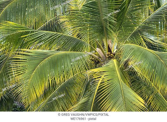 Coconut palm trees at Pu'uhonua O Honaunau National Historical Park, South Kona, Hawaii