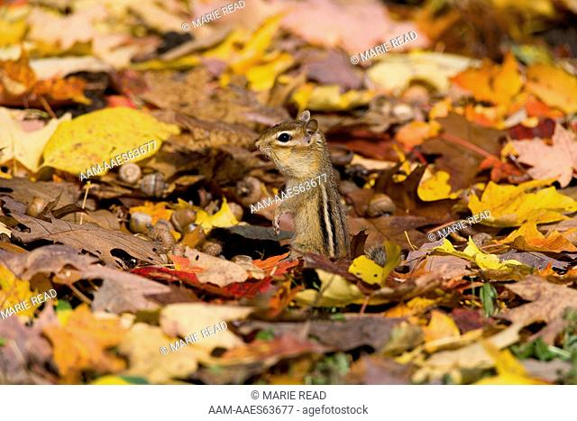 Eastern Chipmunk (Tamias striatus) amid fallen leaves in autumn, Freeville NY, USA