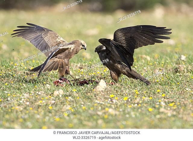 Western marsh harrier (Circus aeruginosus) and Black kite (Milvus migrans) fighting over food, Extremadura, Spain
