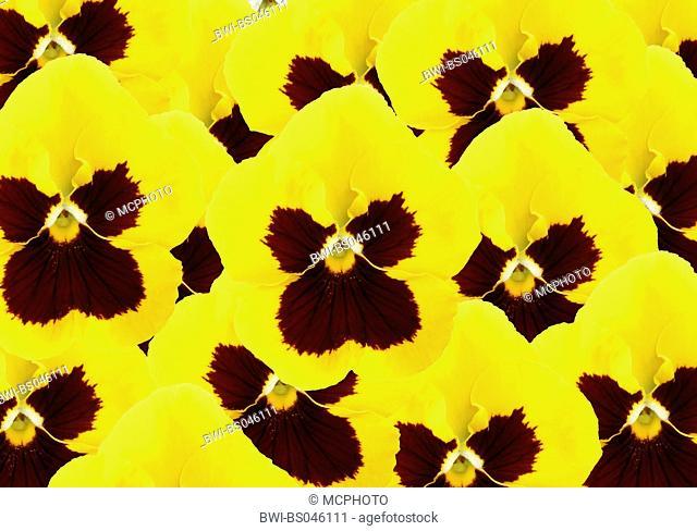 Pansy, Pansy Violet (Viola x wittrockiana, Viola wittrockiana, Viola hybrida), flowers