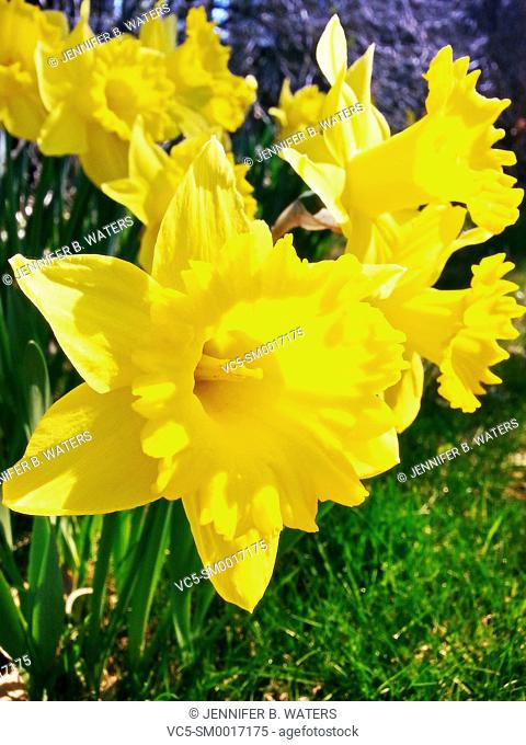 Close-up of daffodils outdoors