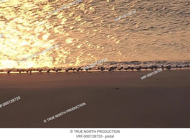 Flock of Oyster Catchers, shoreline, feeding, hunting, togetherness, protection. Uist, Scotland, UK