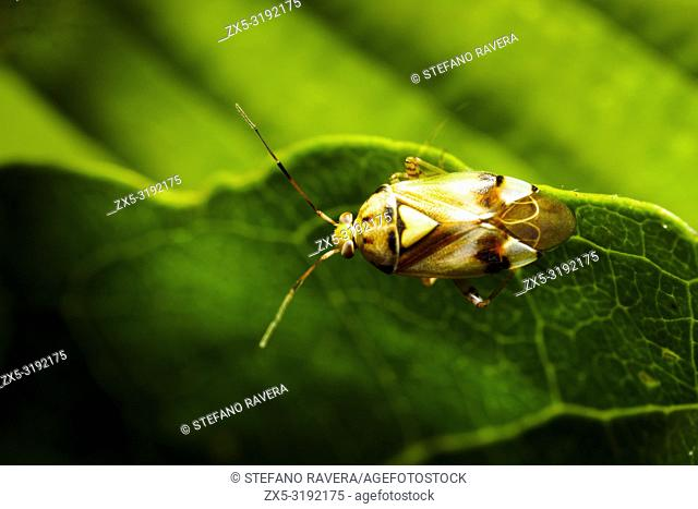 Mirid Bug (Orthops basalis) - Umbria, Italy