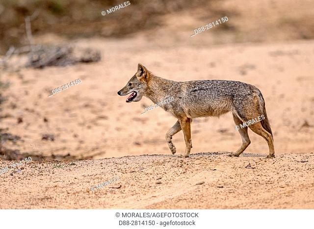 Sri Lanka, Northwest Coast of Sri Lanka, Sri Lankan Jackal or Southern Indian Jackal is a subspecies of golden jackal (Canis aureus naria)