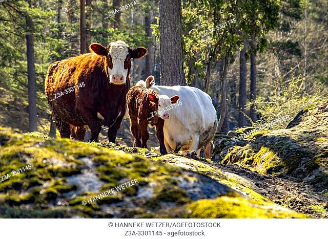 Newborn calfs with mother cows in a Swedish forest