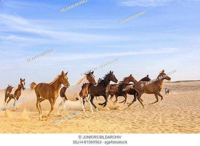 Arabian Horse. Group of juvenile mares galloping in the desert . Egypt