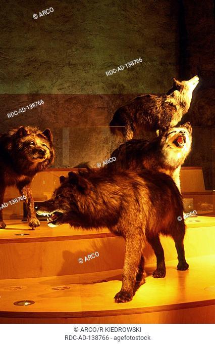 Stuffed Wolves Museum Inatura Dornbirn Austria Canis lupus Wolf