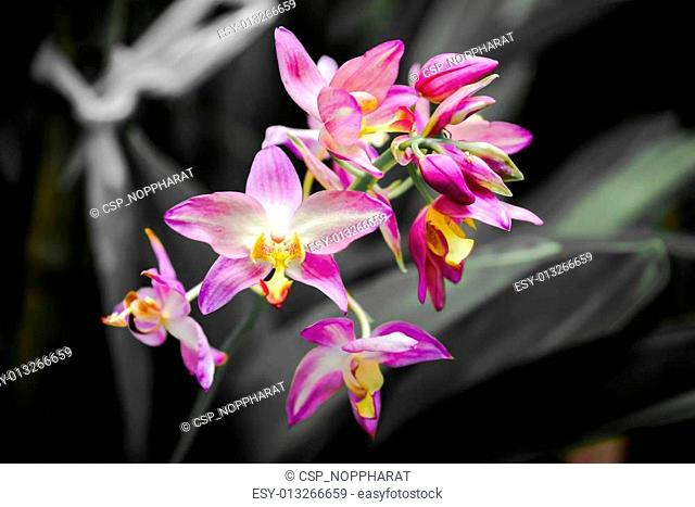 Ground orchids hybrids