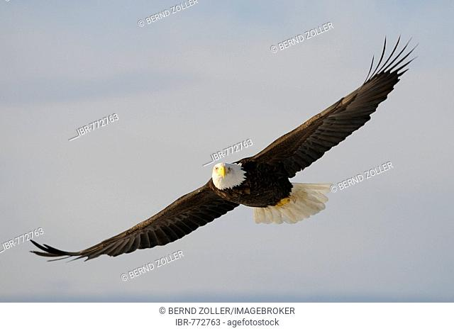 Bald Eagle (Haliaeetus leucocephalus) in flight, Kenai Peninsula, Alaska, USA