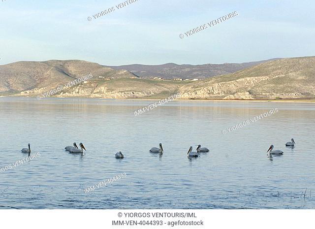 Pelicans swimming in Lake Vegoritida that sits between the prefectures of Pella and Florina. Vegoritida Lake, Pella, Central Macedonia, Greece, Europe