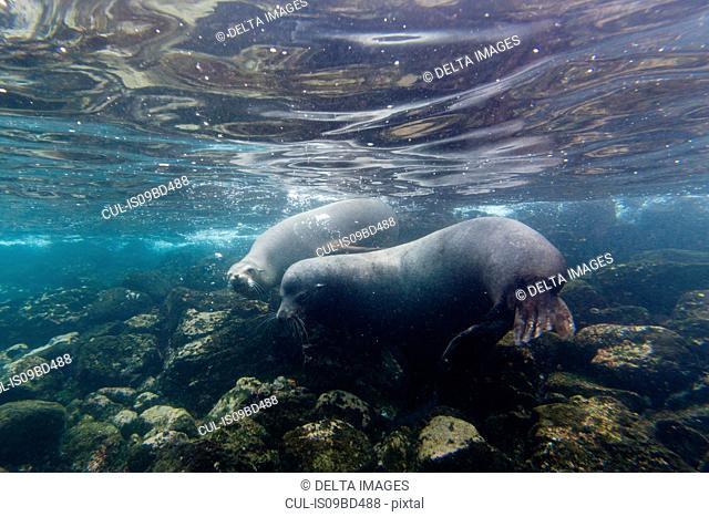 Galapagos sea lions (Zalophus californianus wollebaeki), underwater shot, Santa Fe Island, Galapagos Islands, Ecuador