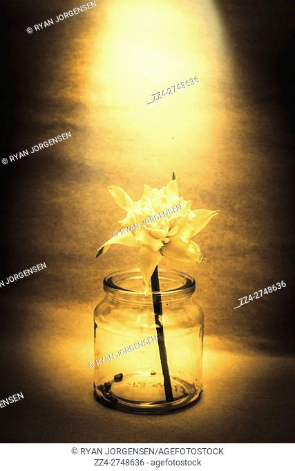 Still life photo of a beautiful yellow flower placed alone in a glass jar with backlight. In light of nostalgia