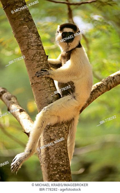 Verreaux's Sifaka (Propithecus verreauxi) sitting in a tree, Madagascar, Africa