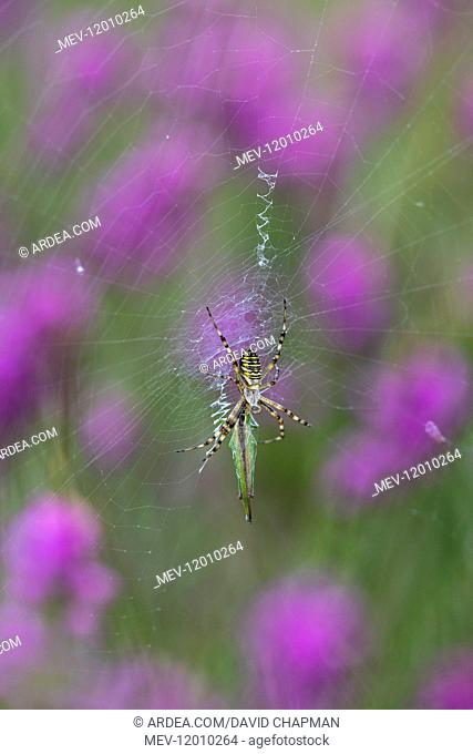 Wasp Spider - on Web - Cornwall - UK