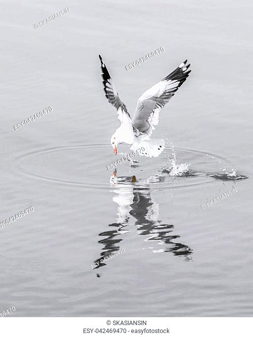 Seagull flying on water surface with speed to catch food. Water surface in soft gray tone of winter season