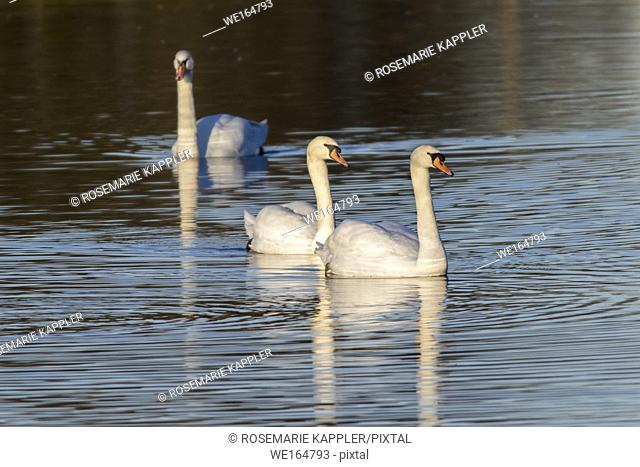 A mute swan on the riverside of the saar. Germany, Saarland, Saarbruecken