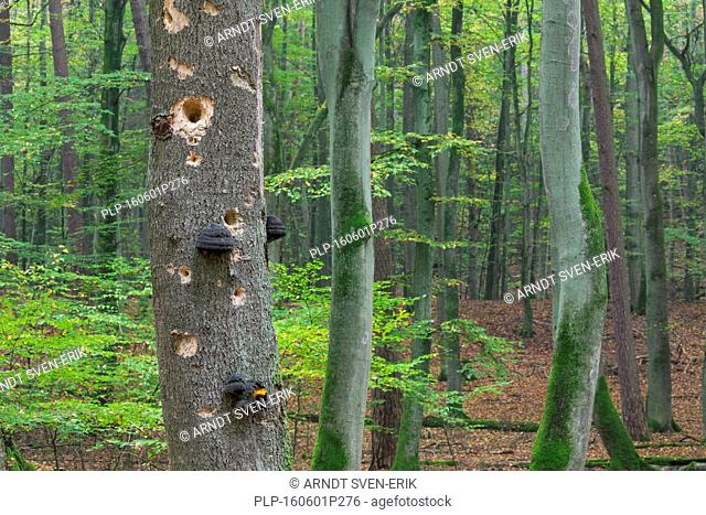 Woodpecker holes in tree trunk with fungal disease at beech forest in autumn
