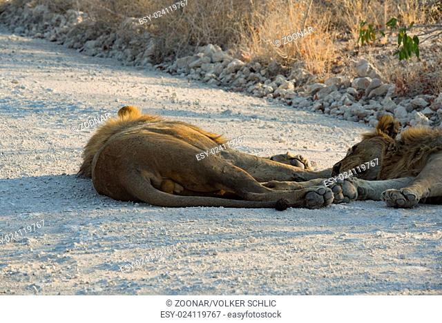Lion in Namibia Afrika