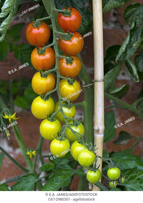 Vine tomatoes Solanum lycopersicum growing outside in Norfolk garden