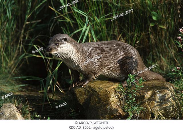 European Otter Lutra lutra River Otter