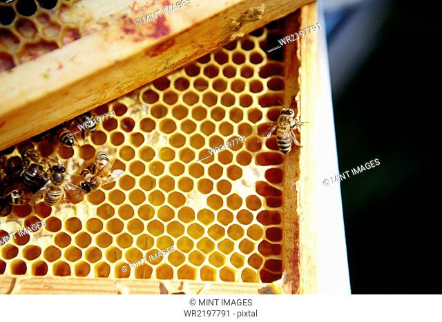 A group of bees on a wooden frame or super with honeycomb structure