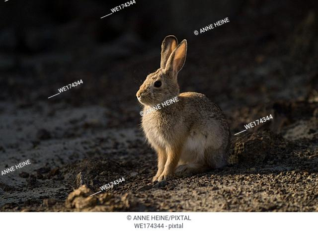 Rabbit backlit sitting on barren soil