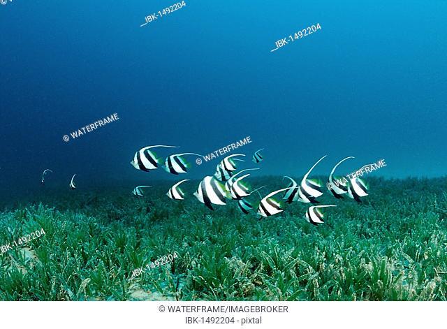 Red Sea Bannerfish (Heniochus intermedius) swimming over seagras, Marsa Alam, Red Sea, Egypt, Africa