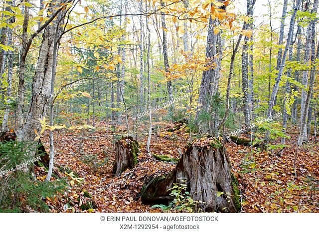 Decaying tree stump along the old Swift River Railroad in Livermore, New Hampshire USA